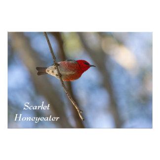 Scarlet Honeyeater Print Photograph