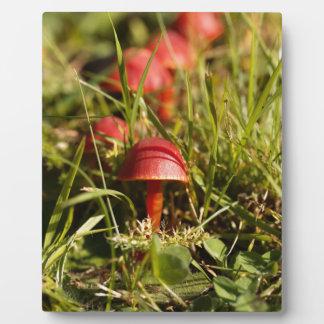Scarlet hood fungi, Hygrocybe coccinea Plaque