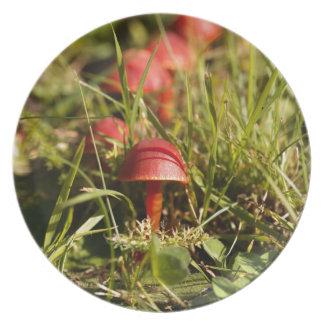 Scarlet hood fungi, Hygrocybe coccinea Plate