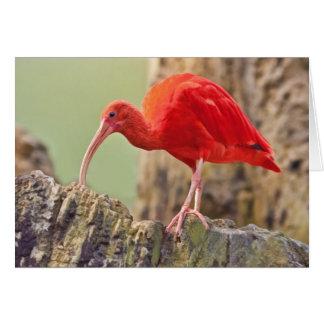 Scarlet Ibis Bird Note or Greeting Card