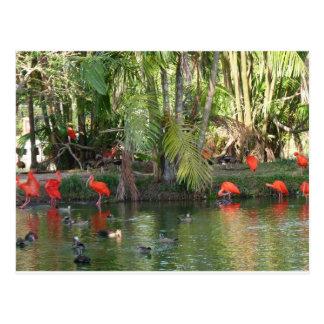 Scarlet ibis postcard