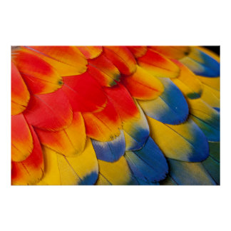 Scarlet Macaw Covert Feathers Poster