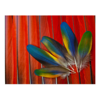 Scarlet Macaw Feather Design Postcard
