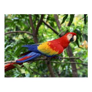 Scarlet macaw on tree limb postcard