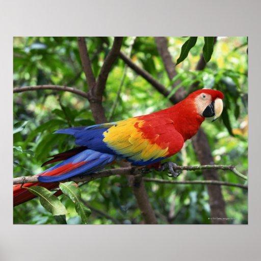 Scarlet macaw on tree limb print