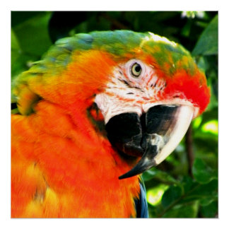 Scarlet Macaw Square Print