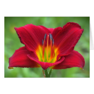 Scarlet Orbit Daylily Card