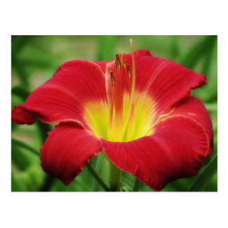 Scarlet with Green - Daylily Postcard