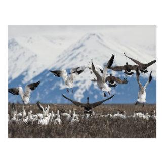 Scattering Geese Postcard