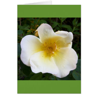 Scented Cream Rose Greeting Card