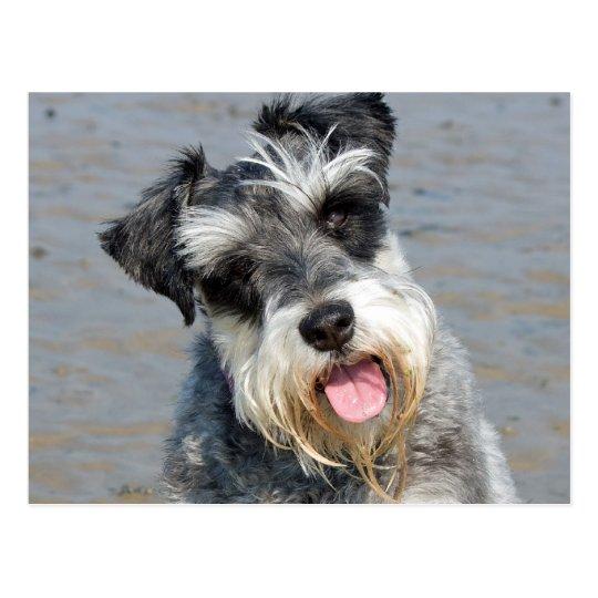 Schnauzer miniature dog cute photo at the beach postcard