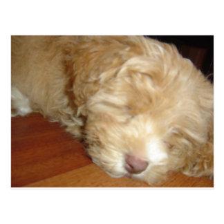 Schnoodle Puppy Sleeping Postcard