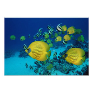 School of Butterfly Fish Swimming on the Seabed Print