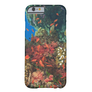 schooling Fairy Basslets  (Pseudanthias 3 Barely There iPhone 6 Case