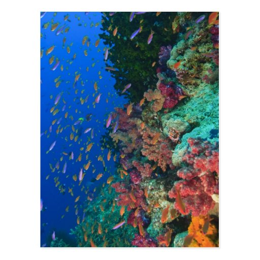 Schooling Fairy Basslets (Pseudanthias Post Cards