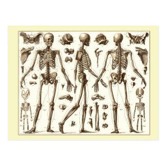 Scientific illustration of the human skeleton postcard