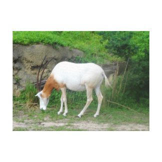 Scimitar Oryx #2 Canvas