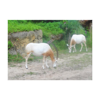 Scimitar Oryx Canvas