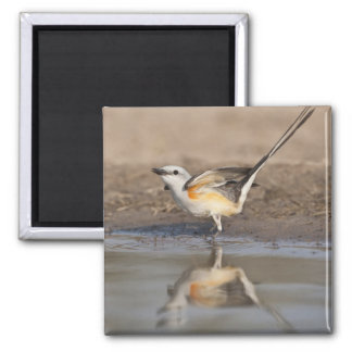 Scissor-tailed Flycatcher reflected in pond Square Magnet