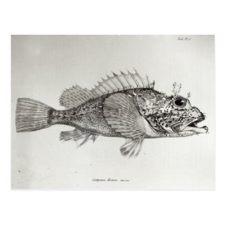 Scorpion Fish Postcard