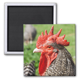 Scots Grey Rooster Photography Square Magnet