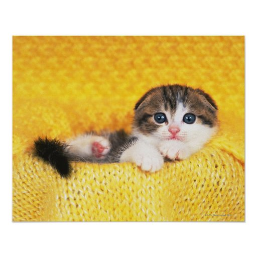 Scottish Fold; is a breed of cat with a natural Print