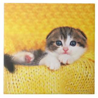 Scottish Fold; is a breed of cat with a natural Tiles