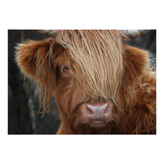 Scottish Highland Cow, Highlander, Scotland Poster
