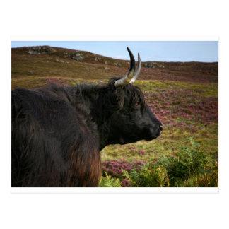 Scottish Highland Cow - Scotland Postcard