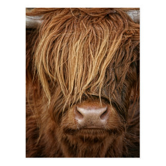 Scottish Highland Cow - Scotland Postcard