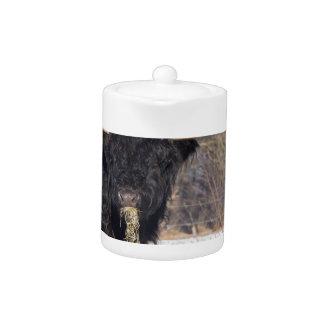 Scottish highlander bull eating hay in winter snow