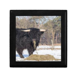 Scottish highlander bull eating hay in winter snow gift box