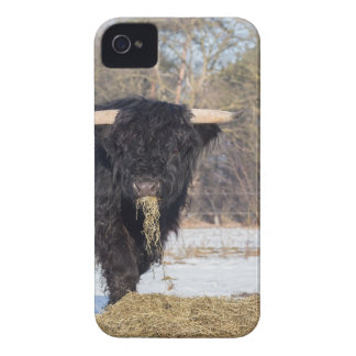 Scottish highlander bull eating hay in winter snow iPhone 4 Case-Mate cases