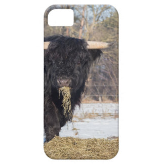 Scottish highlander bull eating hay in winter snow iPhone 5 cover