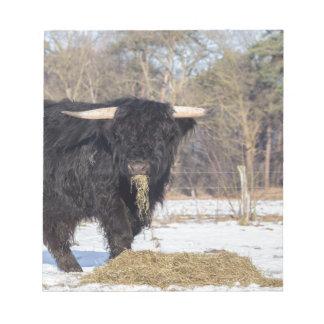 Scottish highlander bull eating hay in winter snow notepad