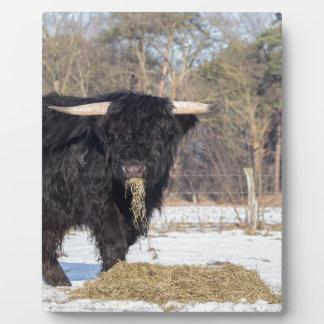 Scottish highlander bull eating hay in winter snow plaque