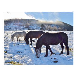 Scottish Ponies Postcard