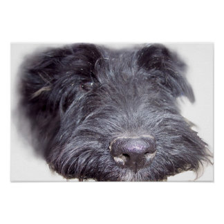 Scottish Terrier black, dog head close up nose Poster