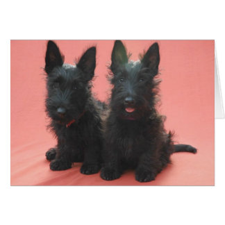 Scottish Terrier puppies greeting cards