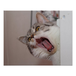 Screaming British Shorthair
