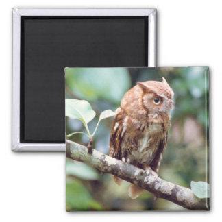 Screech Owl Magnet