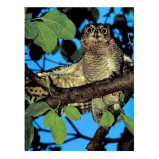 Screech owl post cards