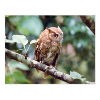 Screech Owl Postcard