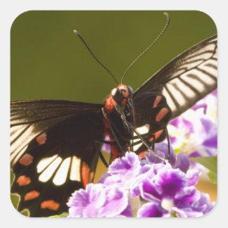 SE Asia, Thailand, Doi Inthanon, Papilio polytes 2 Square Sticker