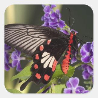 SE Asia, Thailand, Doi Inthanon, Papilio polytes 3 Square Sticker
