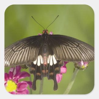 SE Asia, Thailand, Doi Inthanon, Papilio polytes Square Sticker