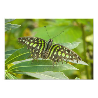 SE Asia, Thailand, Tailed Jay Butterfly Photograph