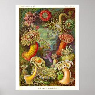 Sea Anemones Vintage Illustration Poster