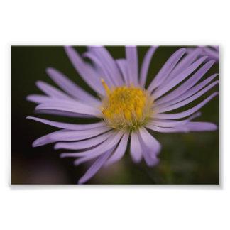 Sea Aster Flower Photo Print