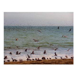 Sea Bird Swarm at California Beach Postcard